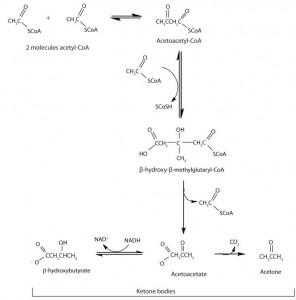 ketogenesis