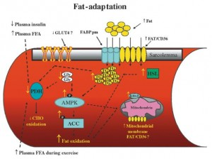 Fat adaptation