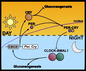 CLOCK BMAL1 gluconeogenesis