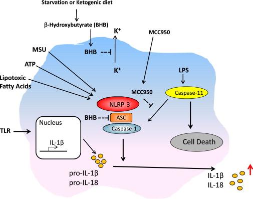 Ketones, NLRP3, and IL-1 beta | The poor, misunderstood calorie