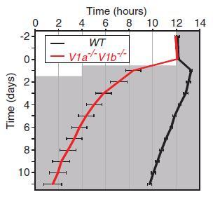 vasopressin receptor KO