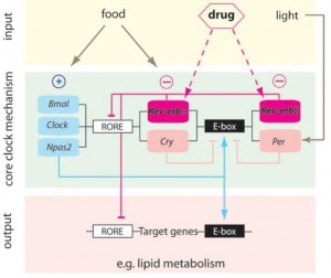circadian genes