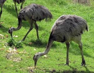 The Rhea, a flightless bird which resembles an ostrich.