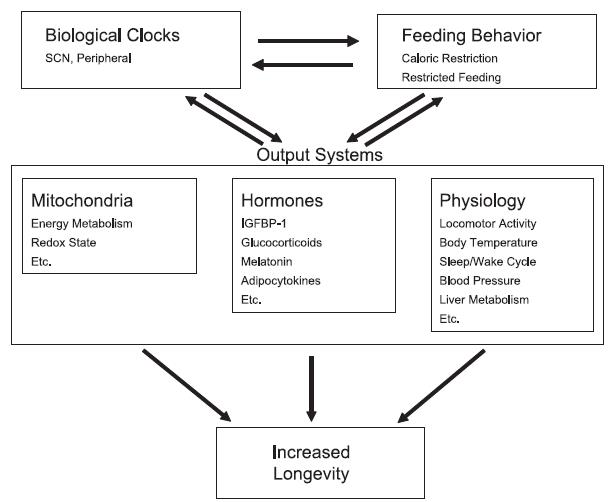 circadian entrainment and longevity