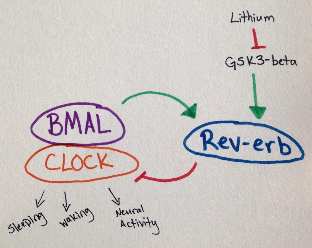 Lithium GSK3b image