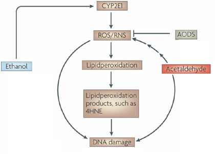 CYP2E1 lipid peroxidation