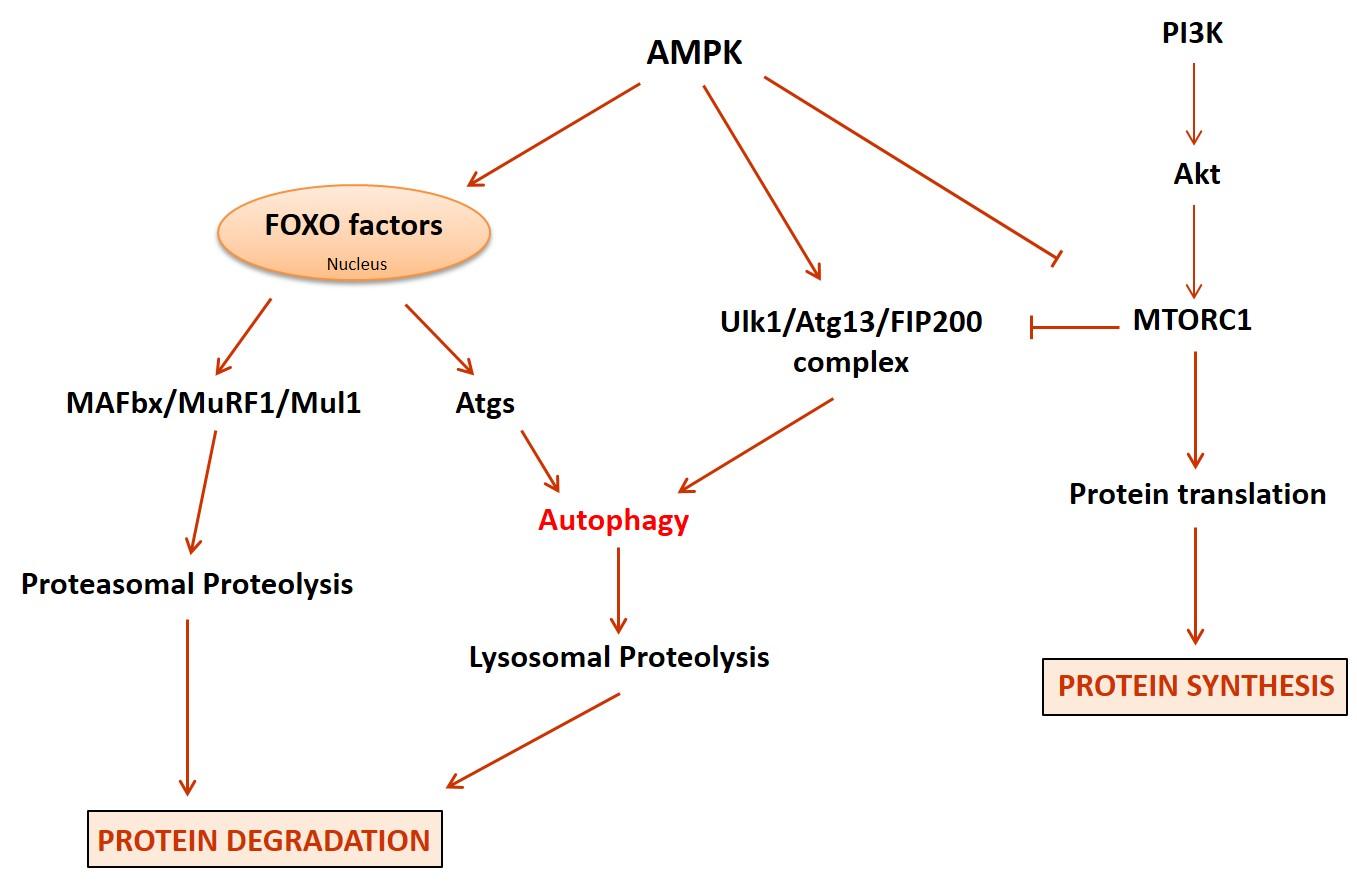 autophagy-image